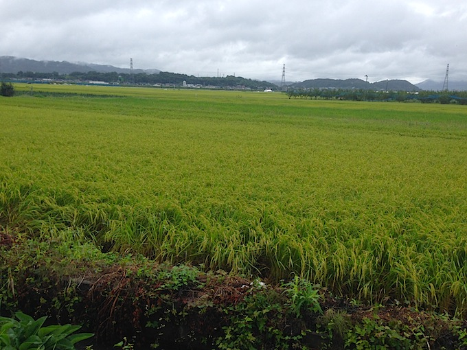 稲の収穫ももうすぐですね。